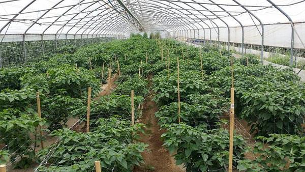 cilli pipp greenhouse